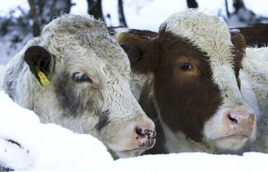 Cattle waiting to be fed in the snow
