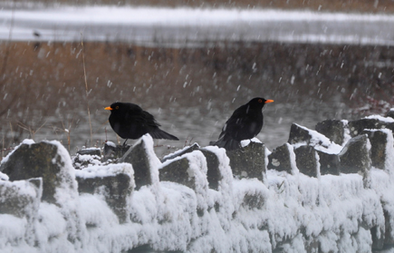 Blackbirds at Lough Lannagh, Castlebar