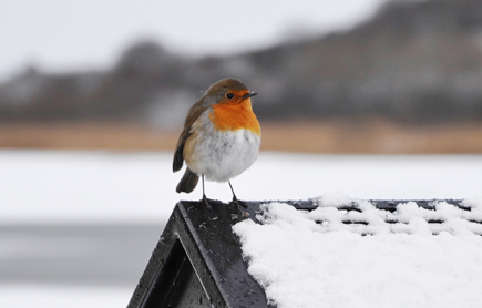 A robin at Lough Lannagh, Castlebar