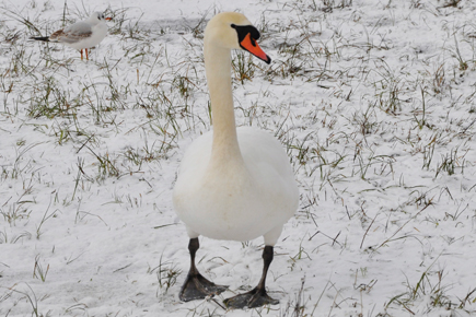 A swan at Lough Lannagh, Castlebar