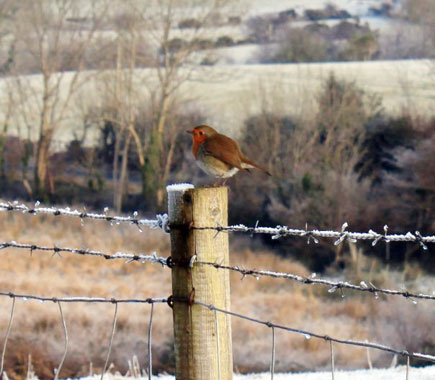 A robin on a fencepost