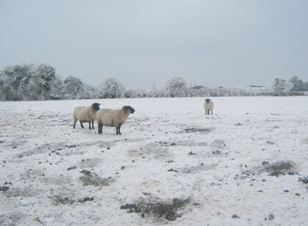 Sheep during the bad weather