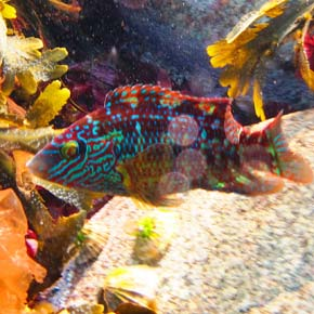 The cuckoo wrasse, a favourite sight among Mayo snorkellers.