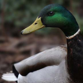 A mallard could tempt a hungry man, but he would have to be crafty to catch one.