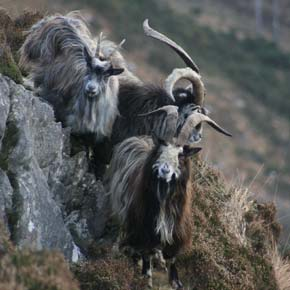 Goats on a hill