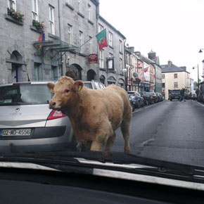The rogue bullock making its way up Main Street, Ballinrobe, lunchtime today.
