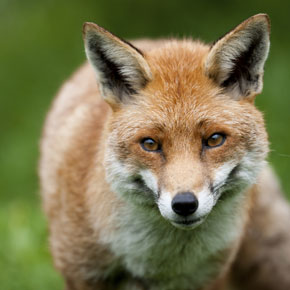 Foxes infected with Sarcoptes scabiei face a long, lingering death.