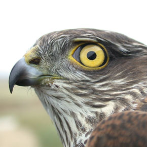 The sparrowhawk hunts through trees with a mixture of stealth and speed.