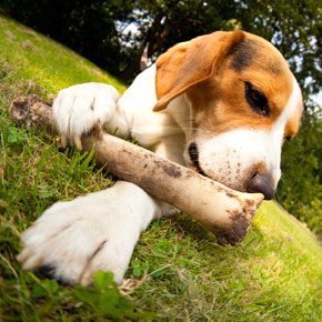 Bones can cause serious injuries to your dog, both in its mouth and in its intestines.