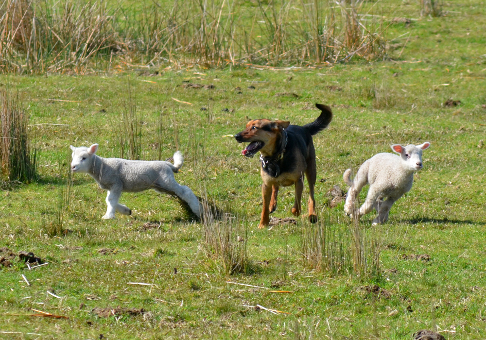 Lambs and sheep are defenseless against dogs that are let run loose  by irresponsible owners.