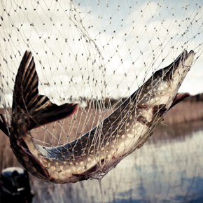 Pike in the net