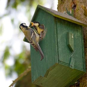 A great tit, temporary resident at this bird box, feeding his young.