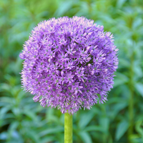 The distinctive shape of the Allium Aflatunensis. These flower look particularly well alongside poppies.Pic: Flickr.com/Jonas N