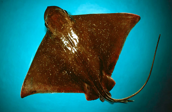 A bull nosed eagle ray.
