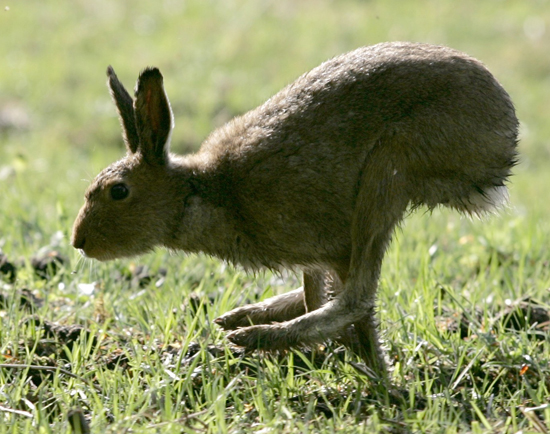 The jack hare spotted by John Shelley, hot on the heels of his fancy.